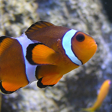 Picture of a colourful Clownfish